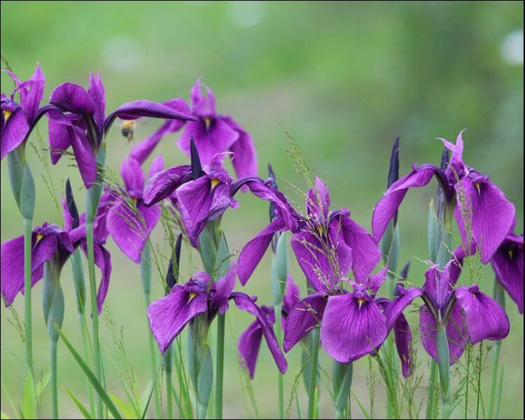 Row of purple irises