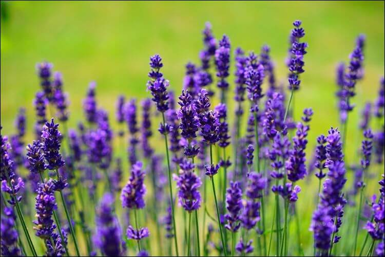 A bunch of purple lavender flowers on a green field
