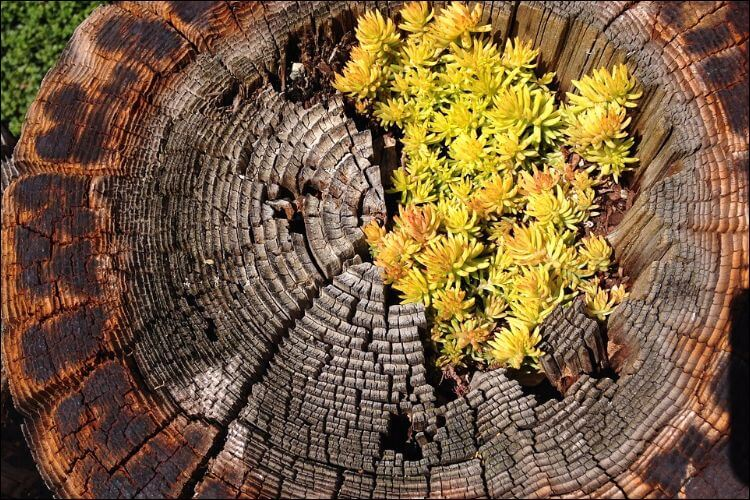 A stump from which yellow flowers grow