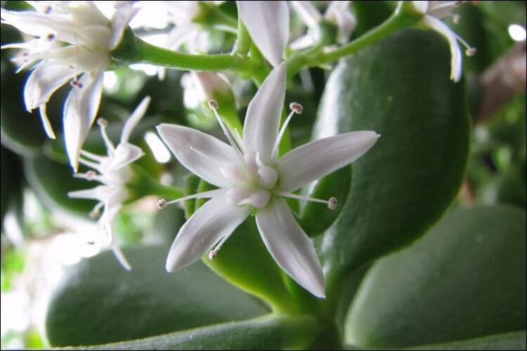 Close up of white flowers of Jade plant