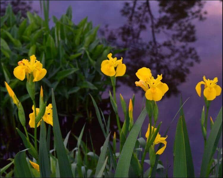 Focus on yellow irises next to a lake