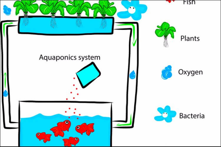 How to grow plants in water drawing of an aquaponics system