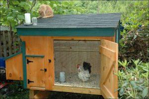 Bantam chicken showed inside a coop with an open door