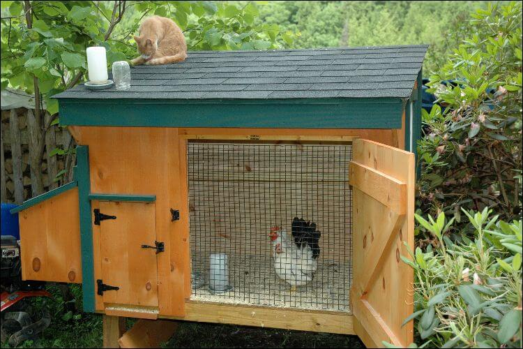 Bantam chicken showed inside a coop with an open door