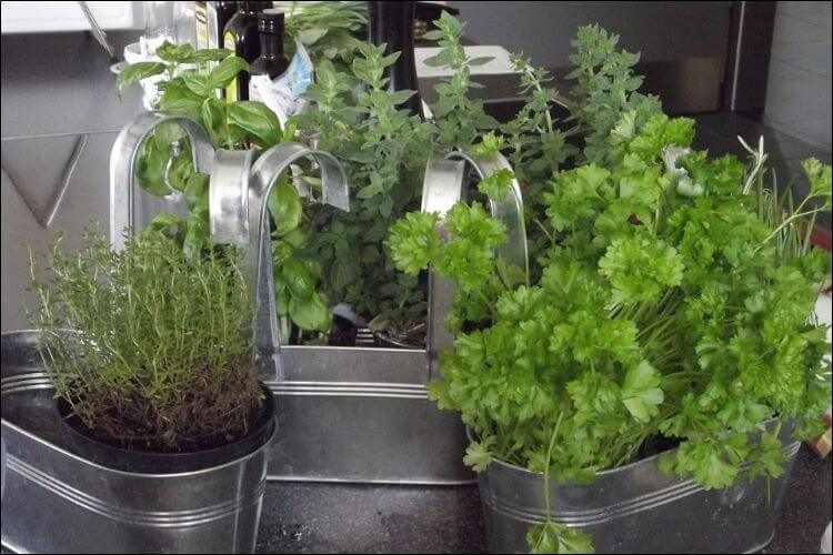 Big metallic pots with herbs growing out of them