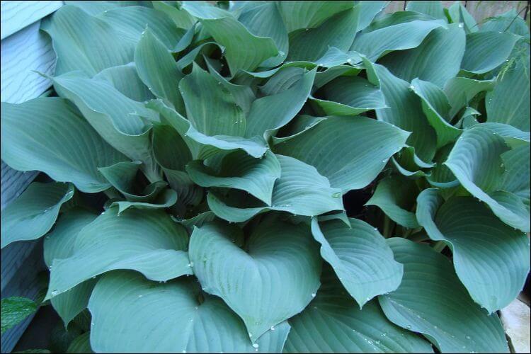 landscaping with hostas blue hosta leaves