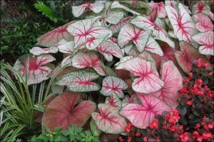 Close up of caladium and hortulanum plants