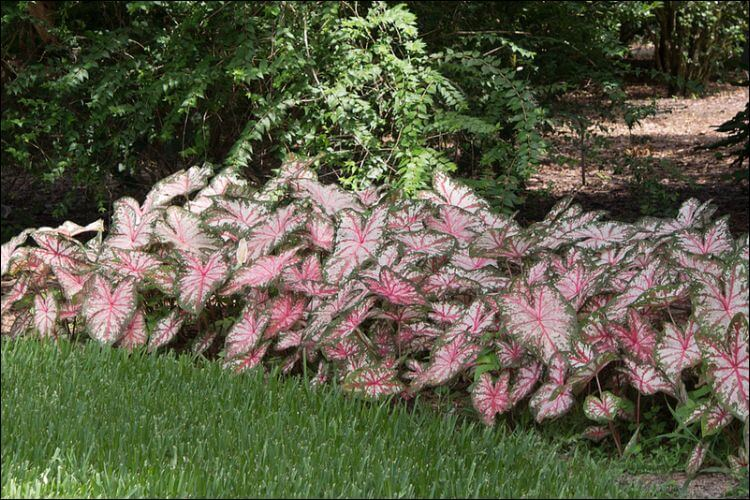 Border of pink and green caladiums on green grass and yard background