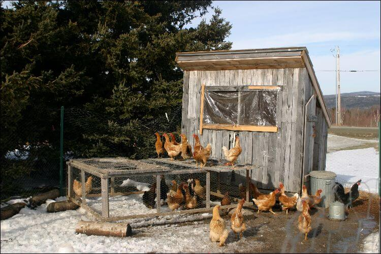 Chickens running around and on a coop