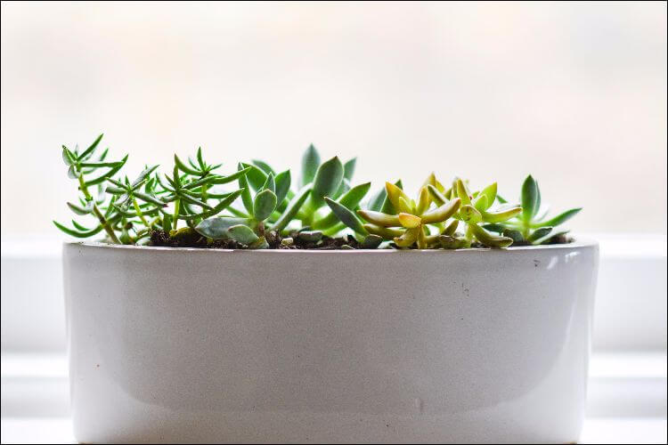Small herb growing in a white ceramic pot