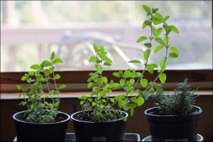 Three black herb pots placed in front of a window