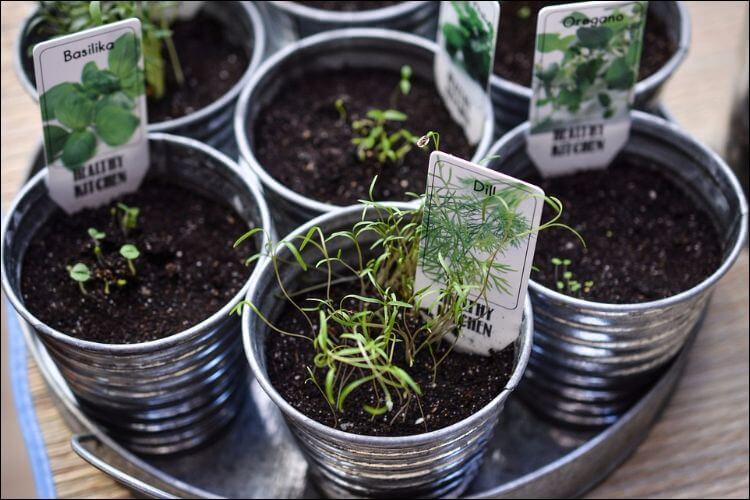 Herbs growing in small metal pots with tags on them