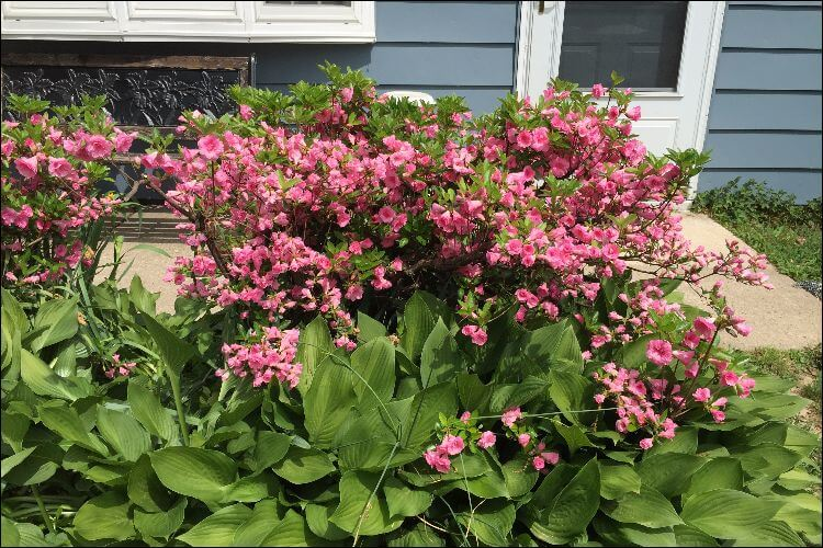 landscaping with hostas hostas and pink azalea
