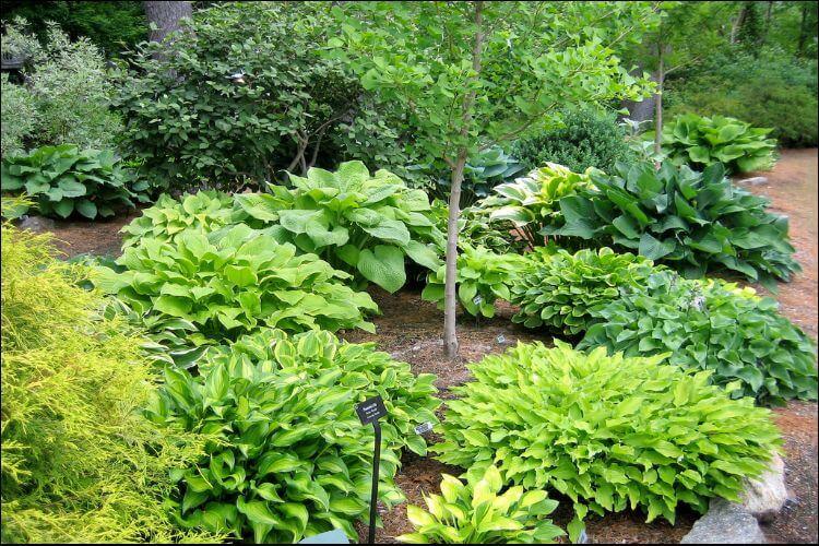 landscaping with hostas hostas varieties