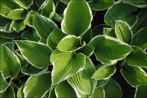 landscaping with hostas hosta with white edged leaves