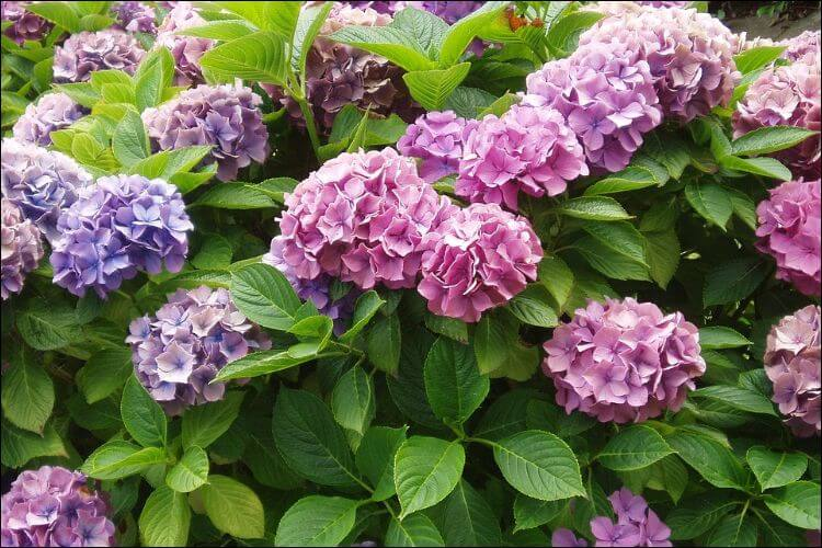 Mix of different shades of hydrangea flowers, against a rich green foliage