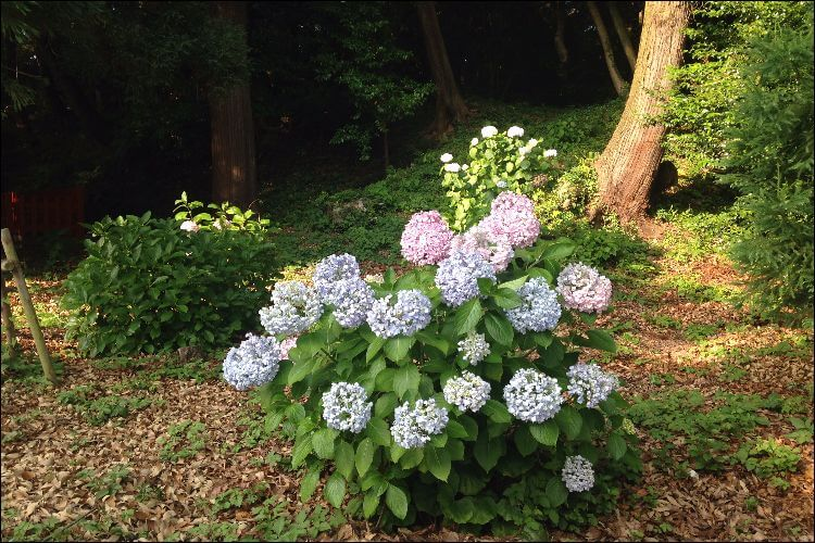 Front shot of a hydrangea shrub growing alone, with another shrub in the background and a tree, lit by the sunlight