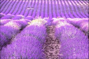 Lavender wedding ideas lavender field
