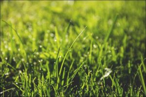 Close up of a green lawn with dew drops on it