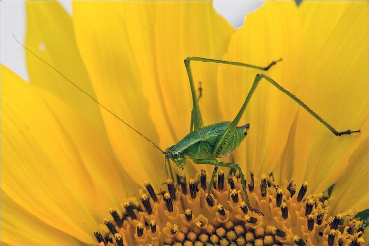 Close up of a green locust on the center of a yellow sunflower