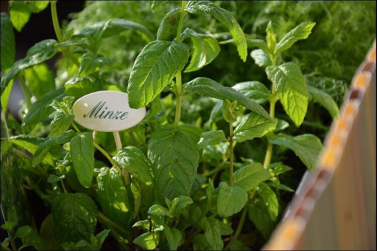 Mint plant growing in a container, with a sign with the German word for mint in it