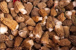 Mound of brown morel mushrooms