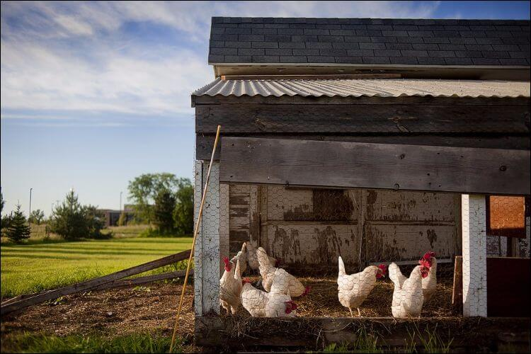 Chicken coop with white chickens in it, on a field, on a sunny day