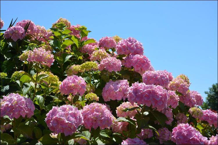 Close up of a cluster of pink hydrangea flowers, seen from below