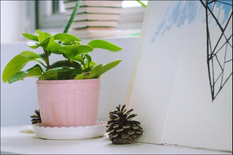 Green plant placed in a pink container with a white saucer underneath