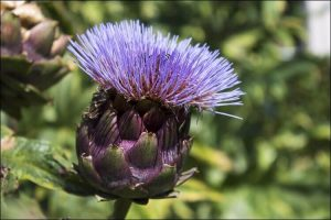 Purple artichoke flower seen from the side