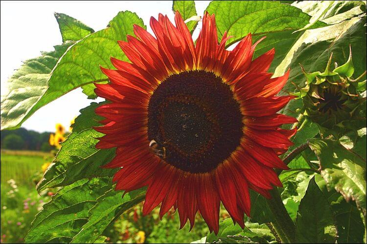 Close up of a red sunflower with a big center and some green leaves in the background