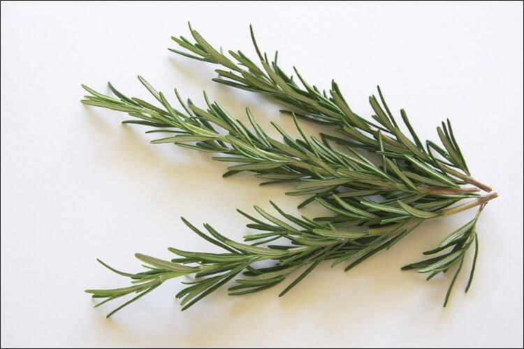 Rosemary leaves on small branches