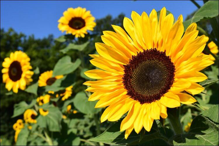 Close up of a sunflower in a sunflower field under a blue sky