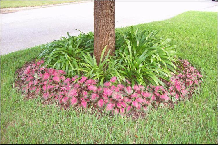 Bed of Sweetheart Caladium leaves around a tree, on the lawn