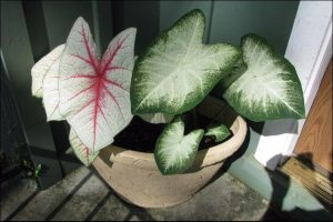 Caladiums with white and green leaves in a pot next to a door