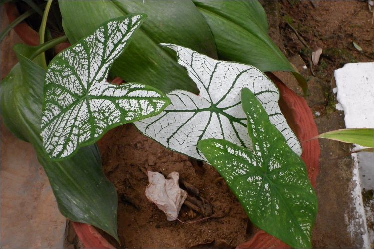 Caladium with white leaves and green vines, growing in a clay pot