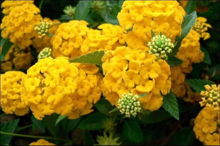 Close up of a cluster of yellow hydrangea flowers, set against a green foliage
