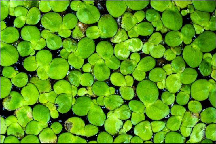 how to grow duckweed algae growth close up