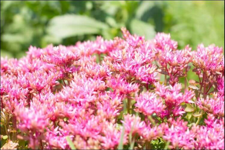 plants that survive winter pink blooming sedum