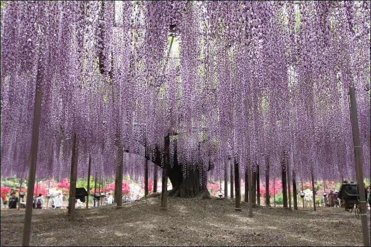 how to grow wisteria from seed view of an old wisteria tree with huge flowers