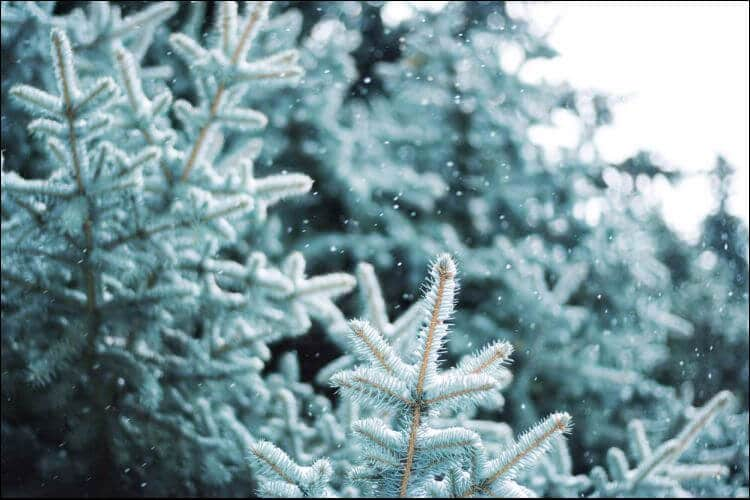 plants that survive winter blue spruce