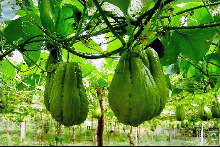 how to grow chayote hanging chayote fruits