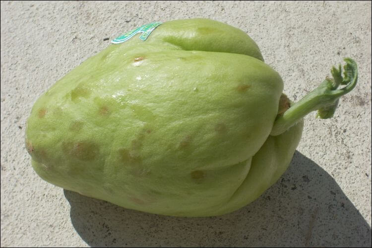 how to grow chayote chayote fruit sprouting