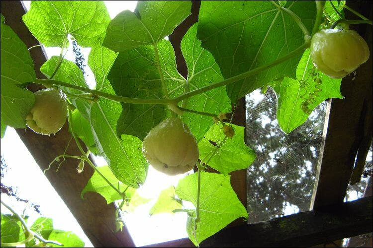 how to grow chayote chayote vine
