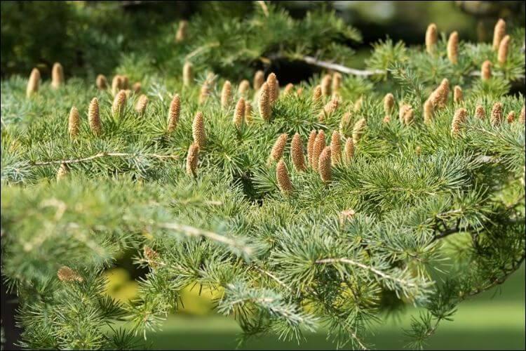 best trees for privacy deodar cedar