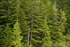 best trees for privacy douglas fir
