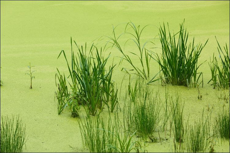 how to grow duckweed duckweed in grass pond