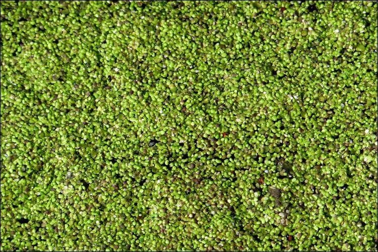 how to grow duckweed aerial view of duckweed