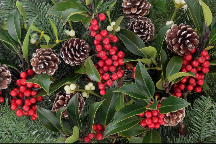 how to grow holly berries and pinecones