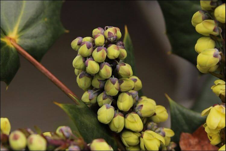 how to grow holly flower buds